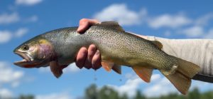 A close-up photo of a live trout just caught by a fly fisherperson